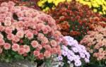 Как вырастить хризантемы дома в горшке