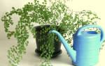 Как правильно поливать цветы в горшках